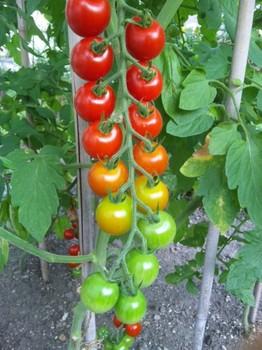 プチトマト2.jpg